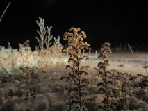 Fiori di notte congelati Immagine Stock