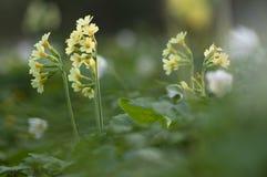 Fiori di Oxlip in primavera Fotografia Stock