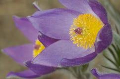 Fiori di pasque di fioritura (Pulsatilla) Fotografie Stock Libere da Diritti
