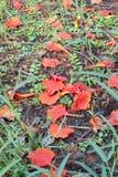 Fiori di pavone caduti sulla terra, petali vivi di colore Fotografie Stock Libere da Diritti