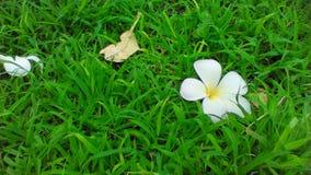 Fiori di plumeria che cadono sull'erba verde Fotografia Stock