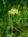 Fiori di primavera odorosa in primavera Fotografia Stock