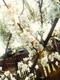 Fiori di primavera in oro Fotografie Stock Libere da Diritti