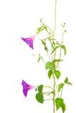Fiori di purpurea di ipomea Fotografia Stock