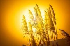 Fiori di Reed nel tramonto Fotografie Stock Libere da Diritti