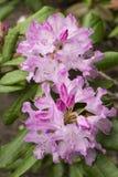 Fiori di rododendro Fotografia Stock