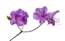 Fiori di rododendro (mucronulatum) del rododendro 15 Fotografia Stock Libera da Diritti