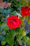 Fiori di rosa di colore rosso immagini stock libere da diritti