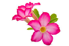Fiori di rosa del deserto Fotografia Stock Libera da Diritti
