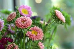 Fiori di rosa del ` s dell'aster Immagini Stock Libere da Diritti