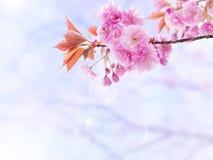 Fiori di rosa dell'albero di Sakura Immagine Stock Libera da Diritti