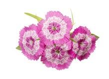 Fiori di rosa di barbatus del Dianthus isolati Fotografia Stock Libera da Diritti