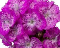 Fiori di rosa di barbatus del Dianthus isolati su bianco Fotografia Stock Libera da Diritti