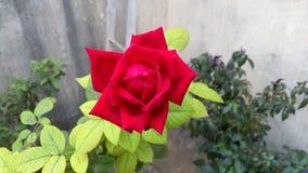 Fiori di rosa di colore rosso Immagine Stock Libera da Diritti