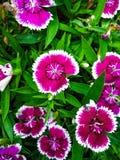Fiori di rosa di erba fotografia stock