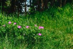 Fiori di rosa selvaggio Fotografia Stock