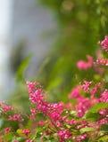 Fiori di rosa selvaggio Immagini Stock
