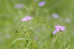 Fiori di rosa selvaggio isolati Fotografia Stock Libera da Diritti