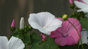 Fiori di Rosea del Alcea della malvarosa nell'ondeggiamento del giardino nel vento archivi video
