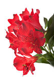 Fiori di rosso di Alstroemeria Fotografia Stock Libera da Diritti