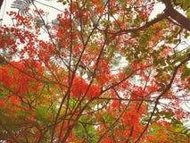 Fiori di rosso di Gulmohar Fotografie Stock Libere da Diritti