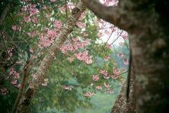 Fiori di Sakura che fioriscono nell'inverno Fotografia Stock Libera da Diritti