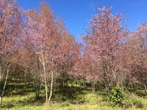 Fiori di Sakura Cherry fotografie stock
