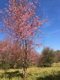 Fiori di Sakura Cherry fotografia stock