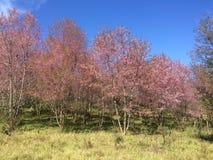 Fiori di Sakura Cherry immagine stock libera da diritti