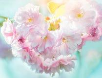Fiori di sakura dell'ubriacone in primavera immagine stock libera da diritti