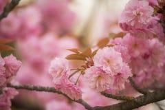 Fiori di sakura dell'ubriacone in primavera immagine stock