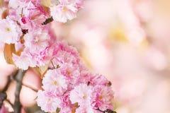 Fiori di sakura dell'ubriacone in primavera fotografia stock