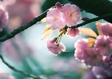 Fiori di sakura dell'ubriacone in primavera fotografia stock libera da diritti