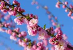 Fiori di sakura della primavera Immagini Stock