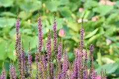 Fiori di salicaria del Lythrum Immagini Stock