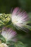Fiori di seta dell'albero del Mimosa dell'Alabama Fotografia Stock Libera da Diritti