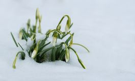Fiori di Snowdrops in neve alla molla in anticipo fotografia stock libera da diritti