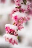 Fiori di Snowy Fotografie Stock Libere da Diritti
