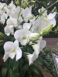 Fiori di Stephanie Sun Dendrobium Memoria Princess Diana White Orchid del Dendrobium nel giardino di Singapore fotografie stock libere da diritti