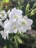 Fiori di Stephanie Sun Dendrobium Memoria Princess Diana White Orchid del Dendrobium nel giardino di Singapore immagini stock