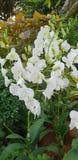 Fiori di Stephanie Sun Dendrobium Memoria Princess Diana White Orchid del Dendrobium nel giardino di Singapore fotografia stock libera da diritti
