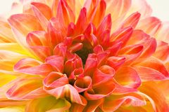 Fiori di stupore nel fondo del fiore e carte da parati nelle stampe superiori di alta qualità fotografia stock libera da diritti