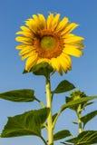 Fiori di Sun con cielo blu Fotografie Stock