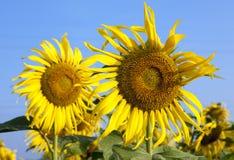 Fiori di Sun contro cielo blu Fotografie Stock Libere da Diritti
