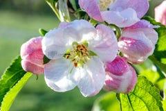 Fiori di un Apple-albero Fotografia Stock Libera da Diritti