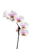 Fiori di un verticale ibrido dell'orchidea di Phalaenopsis Immagine Stock
