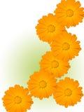 Fiori di una camomilla con i petali gialli Immagine Stock