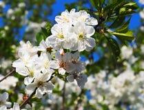 Fiori di una ciliegia Fotografia Stock