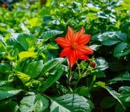 Fiori di una dalia di rosso che fioriscono al giardino Immagini Stock