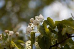 Fiori di una pera selvaggia europea Fotografia Stock Libera da Diritti